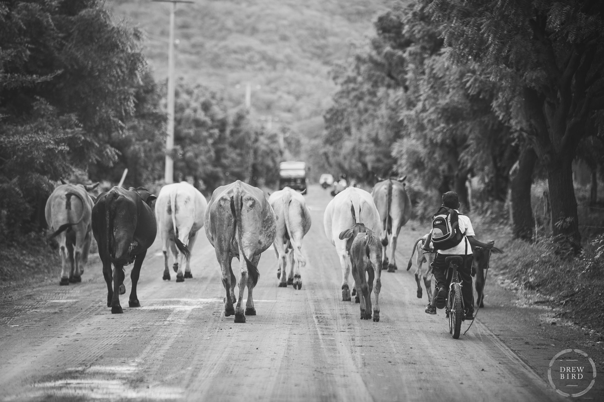 Young boy on bicycle with stick herding a group of cows on a muddy road near Popoyo, Nicaragua. Rancho Santana Nicaragua destination wedding photographer Drew Bird.